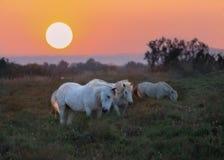 Cavalli all'alba Immagini Stock Libere da Diritti