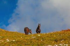 Cavalli alpini, dolomia, Italia Fotografia Stock