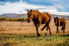 Cavalli ambulanti Immagine Stock