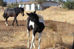 Cavalli americani selvaggi del mustang Fotografie Stock