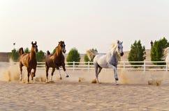 Cavalli arabi Immagini Stock Libere da Diritti