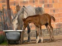 Cavalli arabi fotografia stock