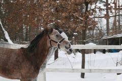 2 cavalli arabi che galoppano contemporaneamente nella neve nel recinto chiuso fotografie stock