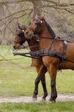 Cavalli attendenti Immagine Stock