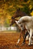 Cavalli in autunno Immagini Stock Libere da Diritti