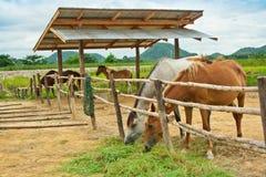 Cavalli azienda agricola, Tailandia Immagini Stock