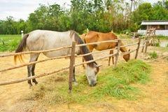 Cavalli in azienda agricola, Tailandia Immagine Stock
