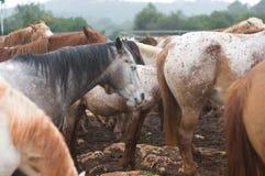 Cavalli bagnati Fotografia Stock