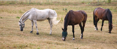 Cavalli bianchi Fotografia Stock Libera da Diritti