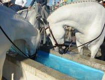 Cavalli bianchi che bevono in un pilone dell'acqua, Spagna Fotografia Stock