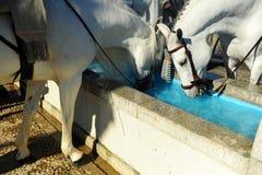 Cavalli bianchi che bevono in un pilone dell'acqua, Spagna Immagine Stock