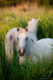 Cavalli bianchi che mangiano erba Fotografia Stock