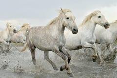 Cavalli bianchi che passano acqua Fotografia Stock