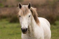 Cavalli bianchi del camargue nella laguna Fotografia Stock