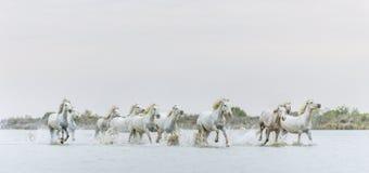 Cavalli bianchi di Camargue che galoppano attraverso l'acqua Immagini Stock