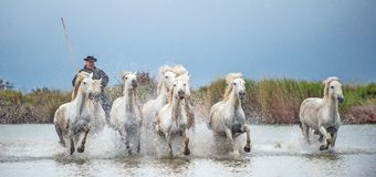 Cavalli bianchi di Camargue che galoppano attraverso l'acqua Fotografia Stock