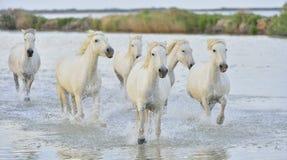Cavalli bianchi di Camargue che galoppano attraverso l'acqua Fotografia Stock Libera da Diritti