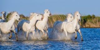 Cavalli bianchi di Camargue che galoppano attraverso l'acqua blu Fotografia Stock