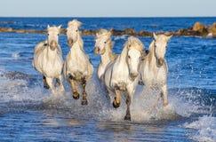 Cavalli bianchi di Camargue che galoppano attraverso l'acqua blu Immagini Stock