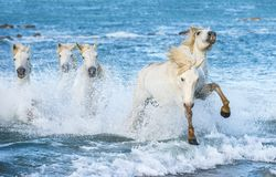 Cavalli bianchi di Camargue che galoppano sull'acqua blu Immagine Stock Libera da Diritti
