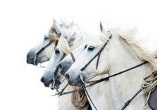 Cavalli bianchi di Camargue isolati sul ritratto bianco Immagine Stock