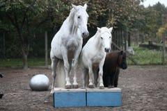 Cavalli bianchi e cavallino nero Immagini Stock Libere da Diritti