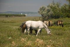 Cavalli bianchi e marroni Immagini Stock Libere da Diritti