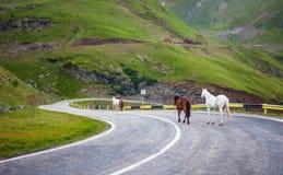 Cavalli bianchi e marroni che camminano sulla strada Immagine Stock