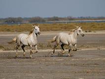 Cavalli bianchi galoppanti in Francia Fotografia Stock