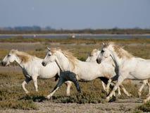 Cavalli bianchi galoppanti in Francia Fotografie Stock