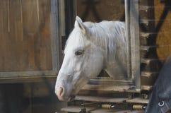 Cavalli in cablaggio Fotografie Stock Libere da Diritti