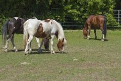 Cavalli canadesi Fotografia Stock Libera da Diritti