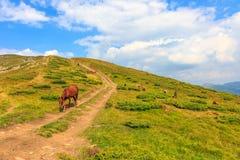 Cavalli carpatici del pascolo Fotografie Stock