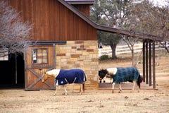 Cavalli che camminano nel granaio marrone Immagine Stock Libera da Diritti