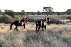 Cavalli che camminano nella savanna africana Kalahari Fotografia Stock