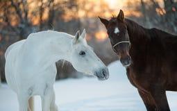 Cavalli che comunicano Fotografie Stock Libere da Diritti