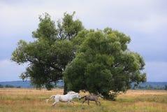 Cavalli che corrono dal temporale Fotografia Stock