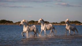 Cavalli che corrono nell'acqua Fotografia Stock Libera da Diritti