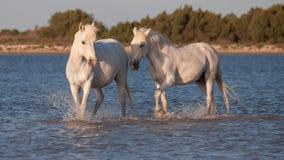 Cavalli che corrono nell'acqua Immagine Stock