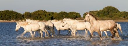 Cavalli che corrono nell'acqua Fotografia Stock