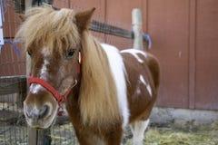 Cavalli che esaminano la macchina fotografica immagini stock libere da diritti