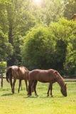 Cavalli che esaminano la macchina fotografica Immagini Stock