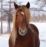 Cavalli che esaminano la macchina fotografica Fotografia Stock Libera da Diritti
