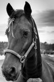 Cavalli che esaminano la macchina fotografica Immagine Stock