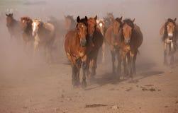 Cavalli che galoppano attraverso la sporcizia Immagine Stock