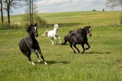 Cavalli che galoppano nel recinto chiuso Fotografie Stock Libere da Diritti