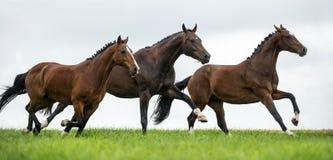 Cavalli che galoppano in un campo Fotografia Stock Libera da Diritti