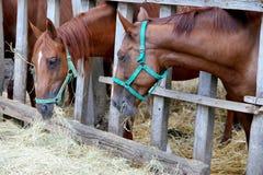 Cavalli che mangiano erba dietro il vecchio recinto di legno Fotografie Stock