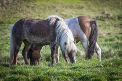 Cavalli che mangiano erba in Islanda Immagini Stock