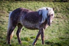 Cavalli che mangiano erba in Islanda Immagine Stock